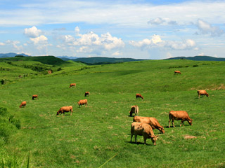 牧野で草を喰むあか牛
